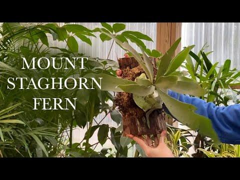 Mount Staghorn Fern in Under 5 Minutes (DIY)