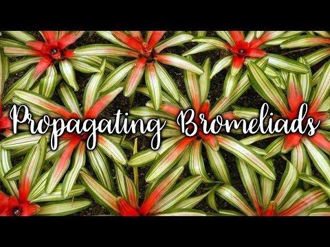 Propagating Bromeliads: How To Remove & Pot Up Bromeliad Pups / Joy Us Garden