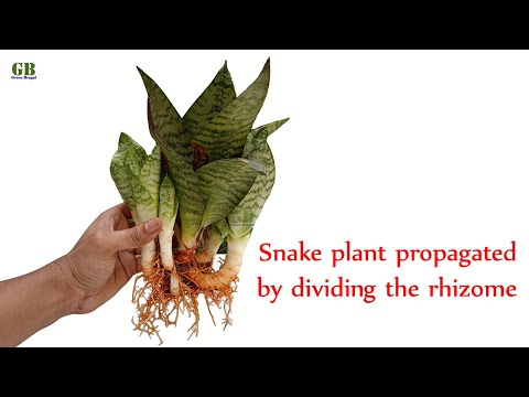 Snake plant propagated by cuttings or by dividing the rhizome