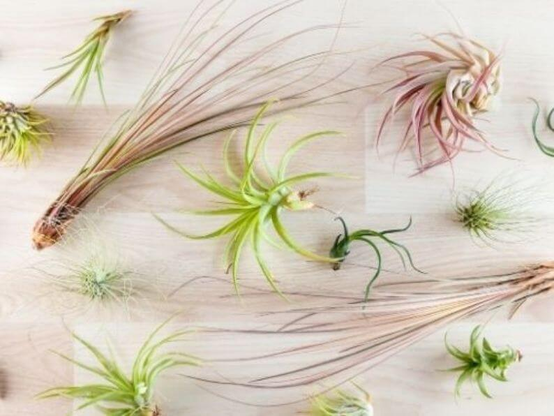 various types of air plants laid flat on wooden countertop