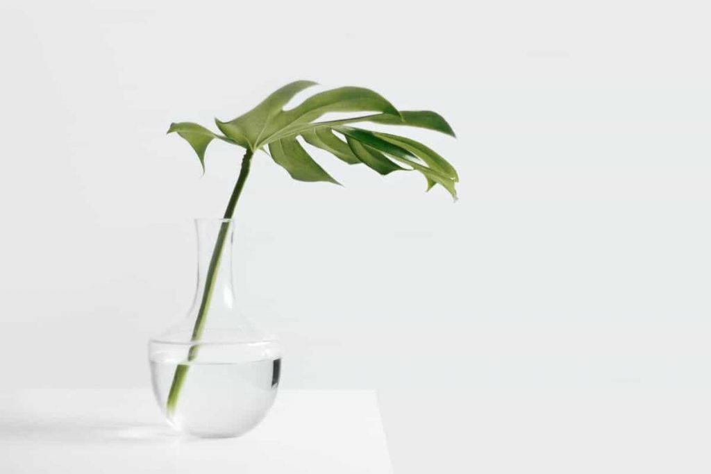 growing plant stem and leaf in vase of water