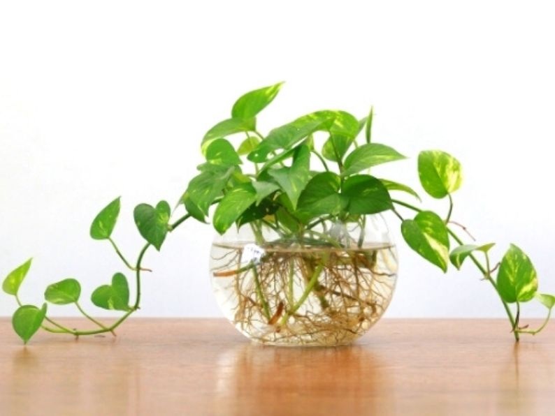 greean heart shaped leaves with roots in round glass bowl of water