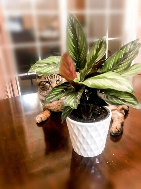 Calathea plant and cat