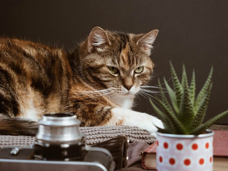 Cat with Haworthia safe for cats