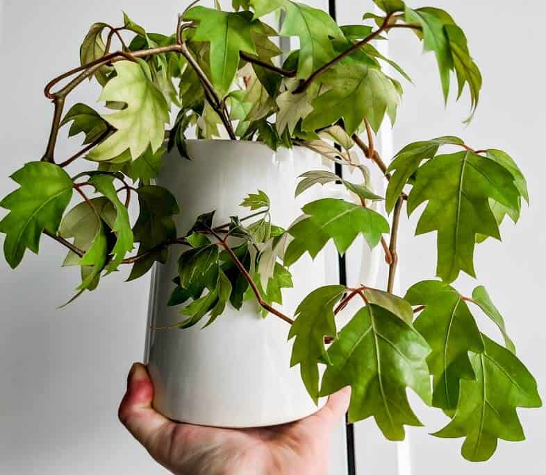 grape ivy plant in white pot