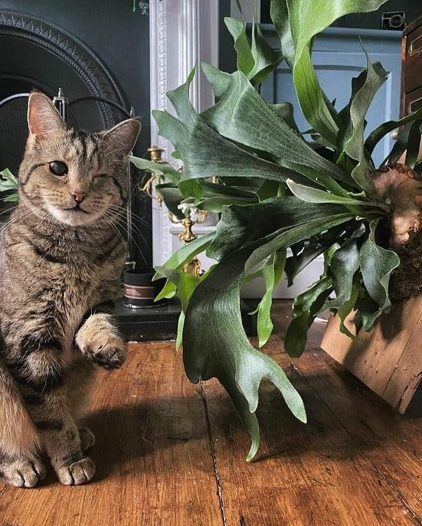 cat safe staghorn fern