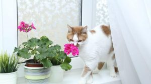 brown and white cat smelling pink african violet cat friendly indoor plant