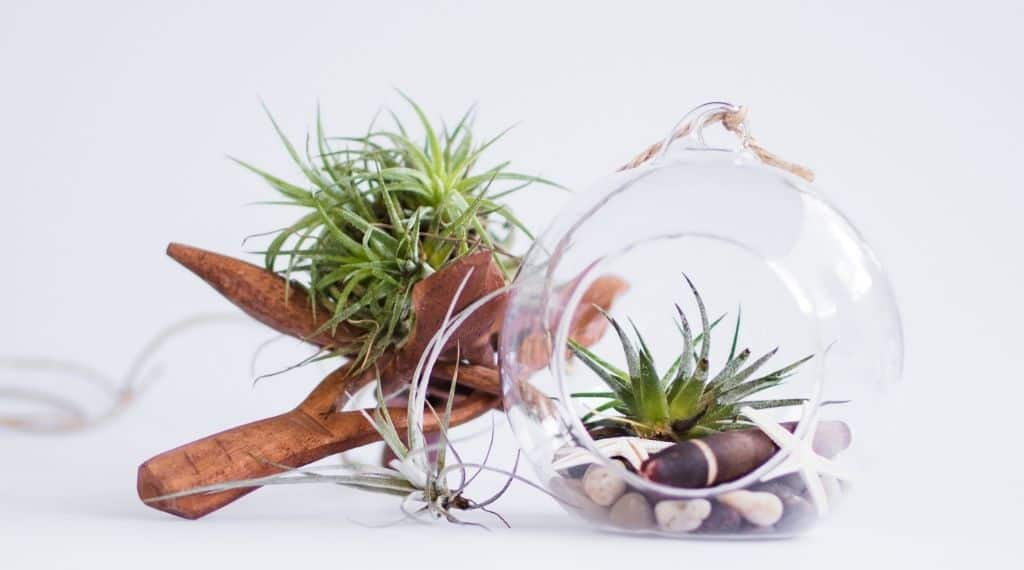 glass globe and wooden cross air plant holders