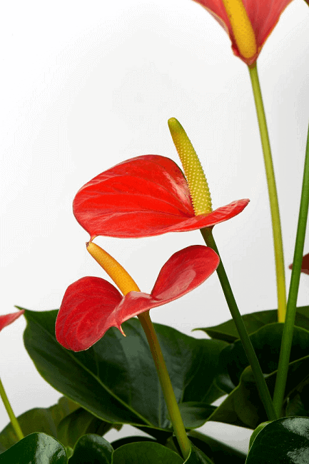Anthurium easy flowering houseplant