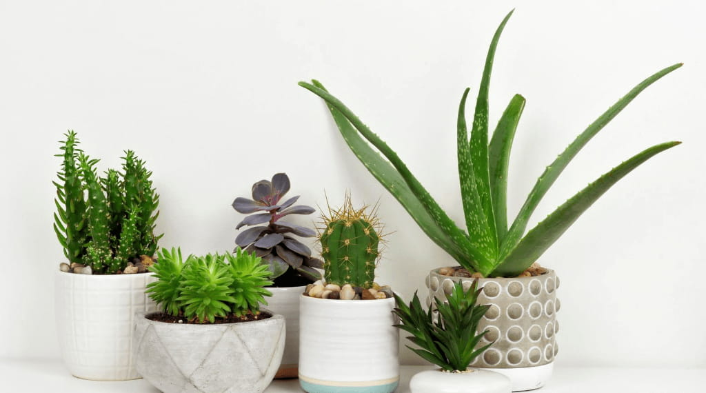 Best Succulents For Office