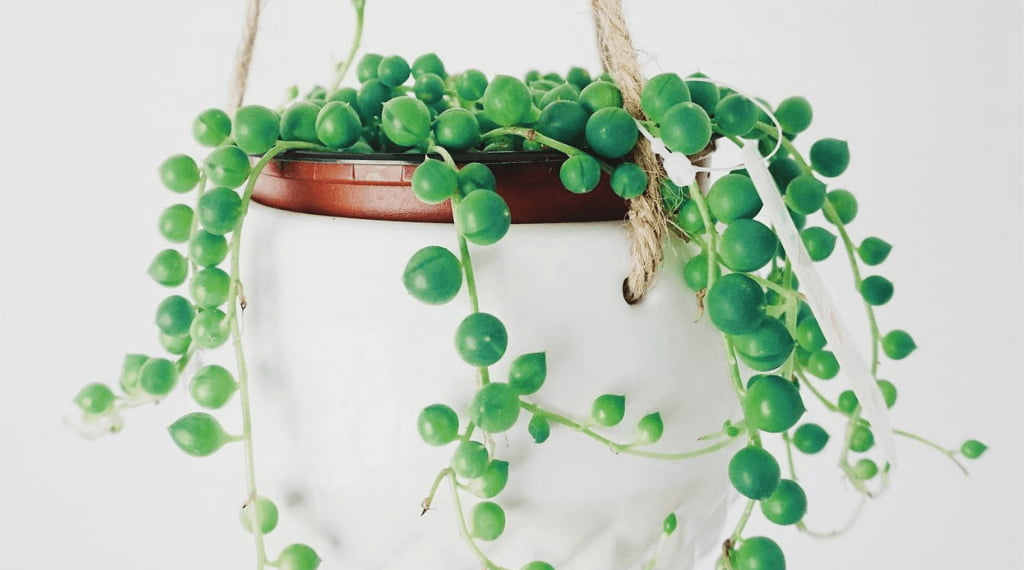 Decorate With The Best Indoor Trailing Plants