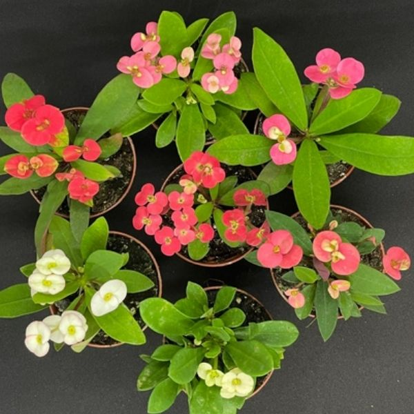 group of red, white and pink flowering crown of thorns