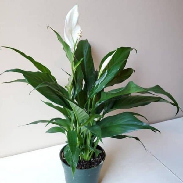 flowering peace lily in green growers pot