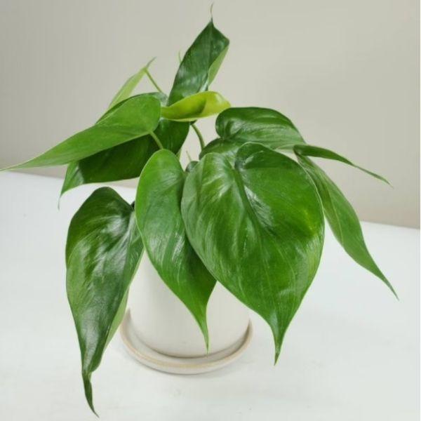 frondandfolia heartleaf philodendron