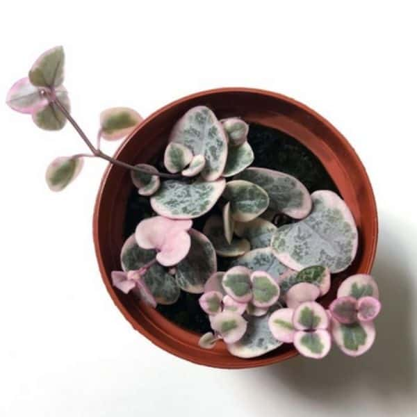small variegated pink and green string of hearts plant