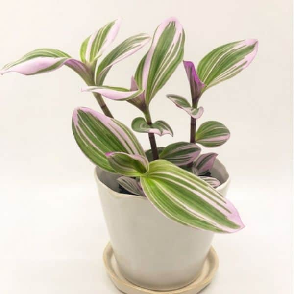 Small Variegated Pink Wandering Jew Plant in White Pot