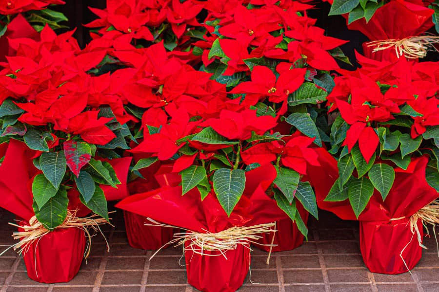group of health bright red poinsettias wrapped in red foil tied with straw rope