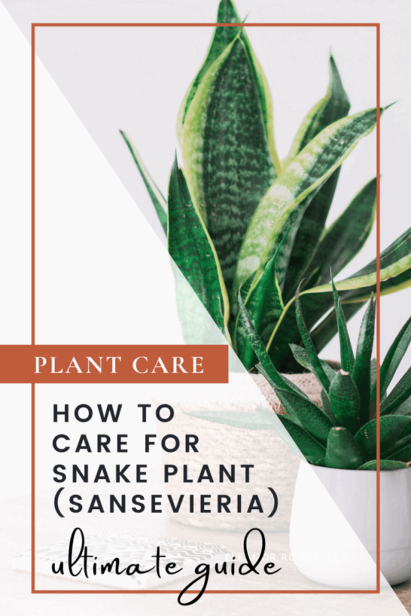 How To Care For Snake Plant Ultimate Guide