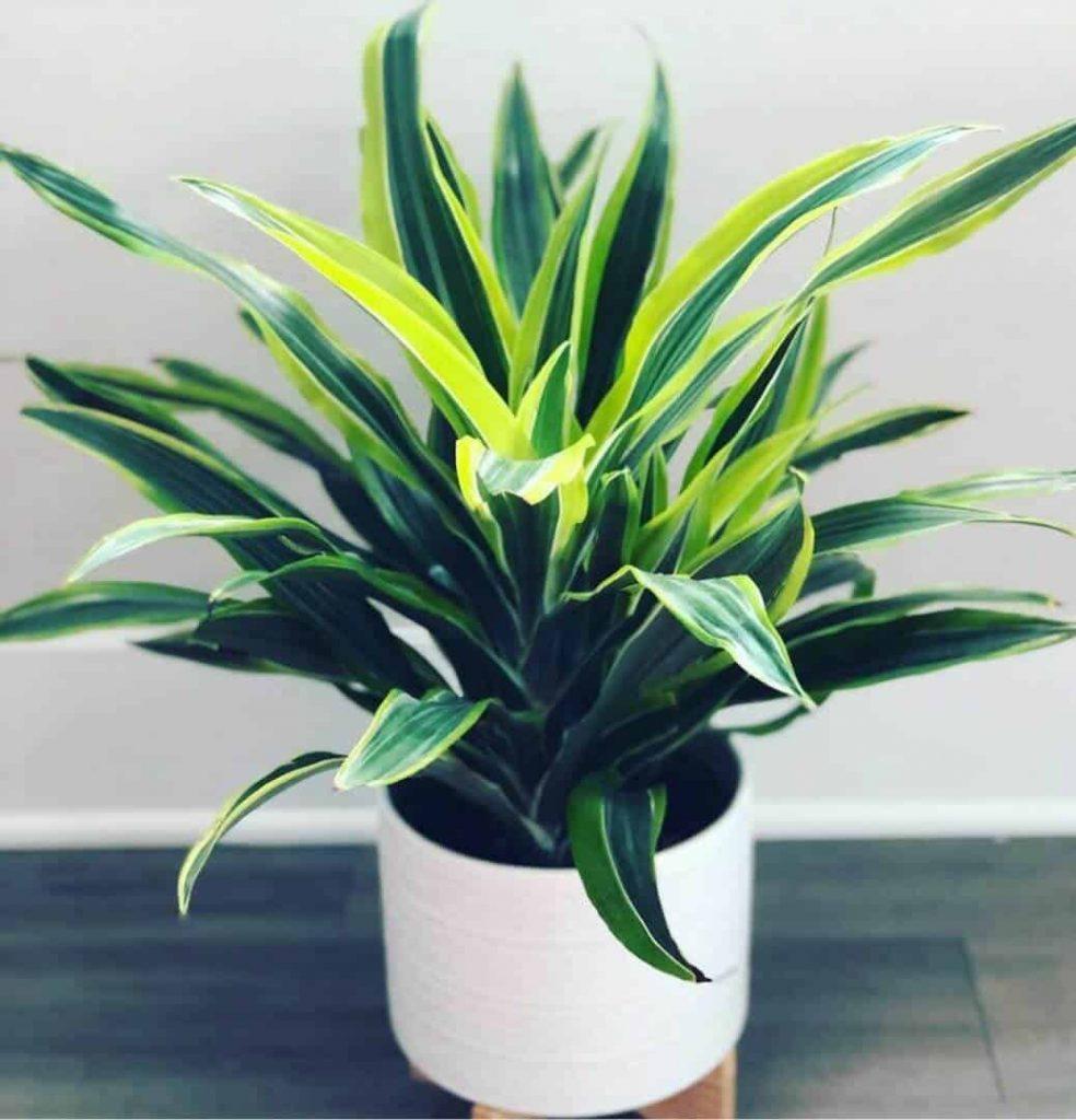 dark green with stripes of lime green leaves of lemon lime dracaena in white pot