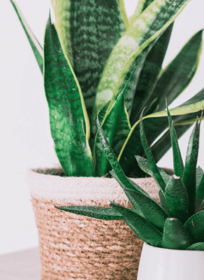 Ultimate Snake Plant Sansevieria Care Guide