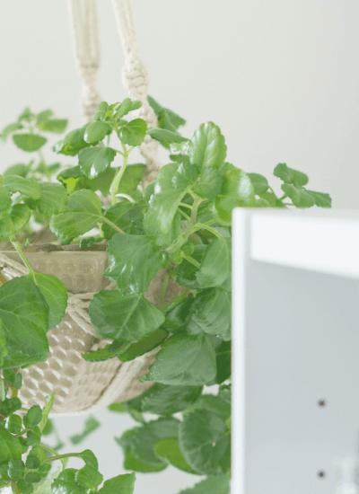 indoor vine plant in macrame holder hanging from ceiling