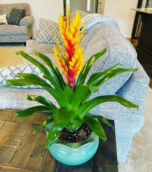 Vibrant orange and red Flaming Sword Bromeliad