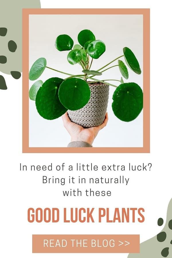 lucky plant peperomia pilea