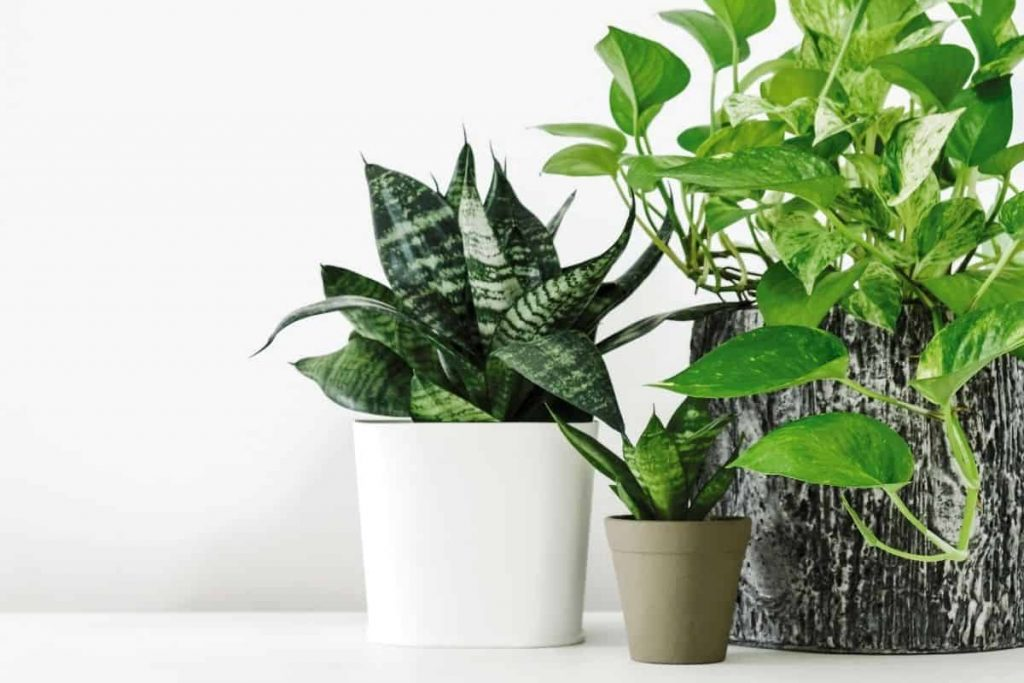 low maintenance indoor plants for beginners: snake plant, pothos in pots on white counter