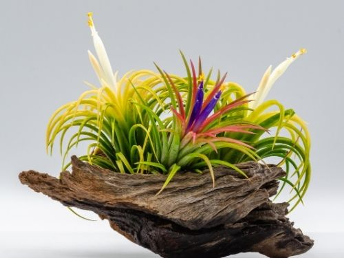 array of flowering air plants sitting in bowl shaped driftwood