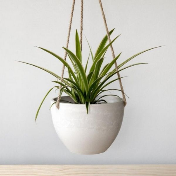spider plant in white hanging planter