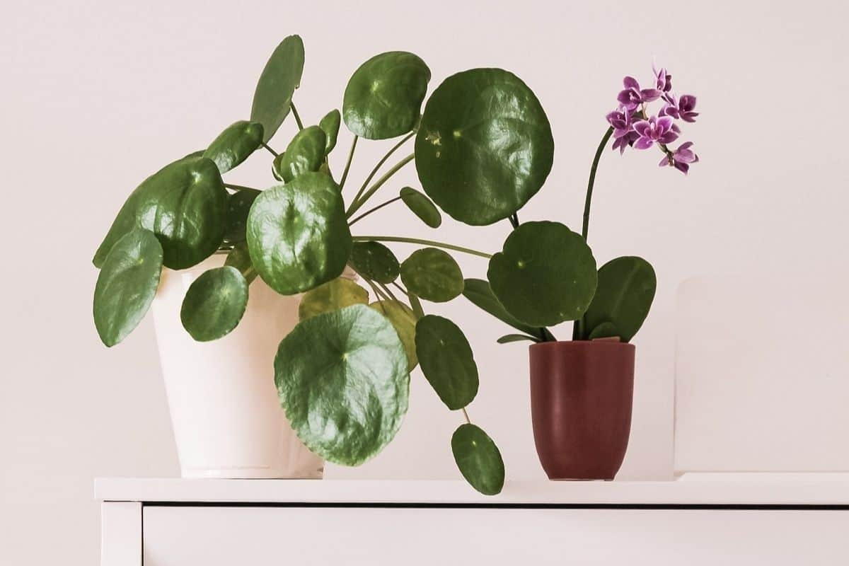 indoor plants that bring good luck to your home pilea peperomioides in white pot beside purple orchid in brown pot on white piano