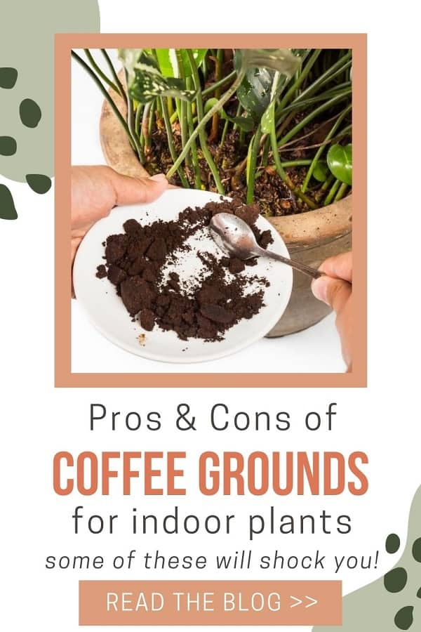 spooning coffee grounds from plate into houseplant soil