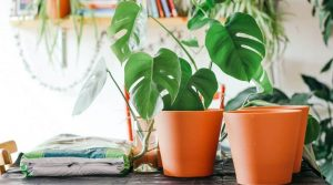 monstera leaves bag of soil and pair of terracotta pots
