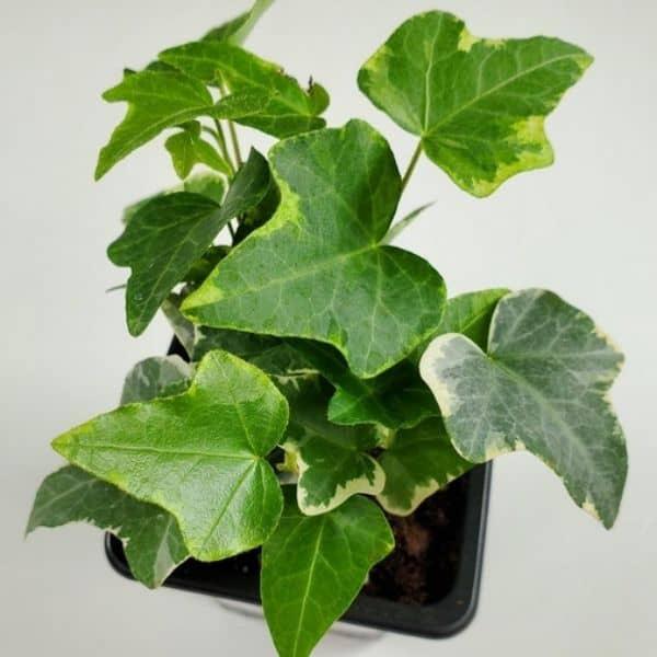 hedera helix ivy plant