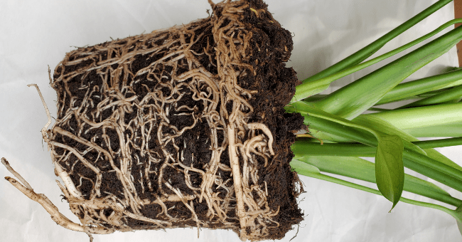 monsterra roots, rootbound plant