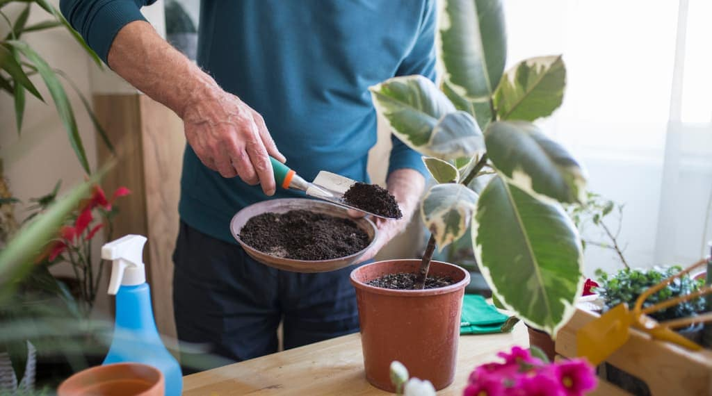 adding best potting soil to indoor plants with variegated leaves