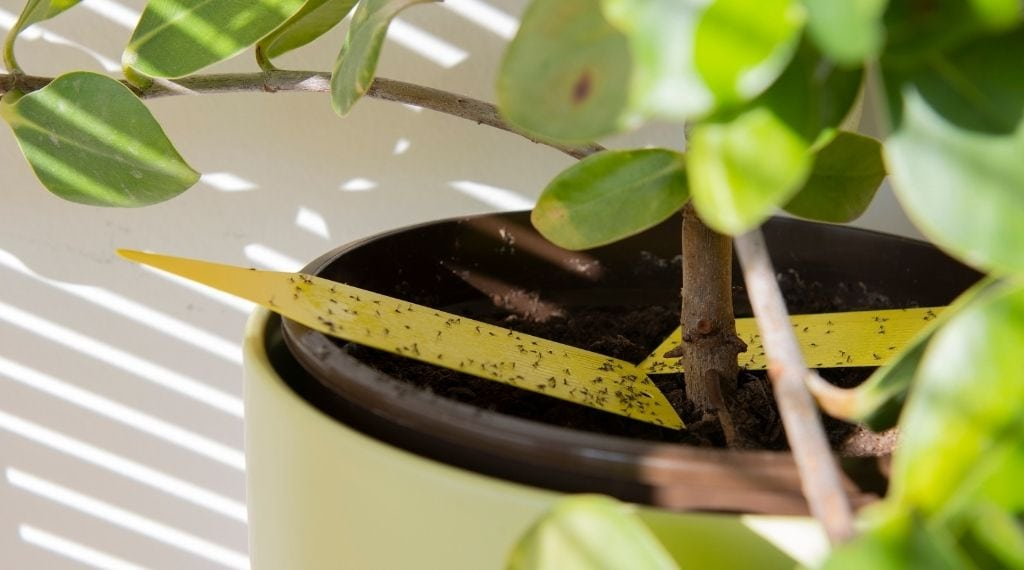 fungus gnats in houseplants on yellow sticky trap