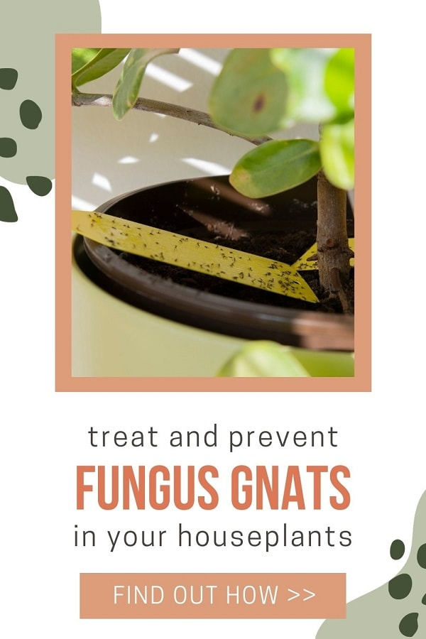 getting rid of fungus gnats on houseplants using yellow sticky tape