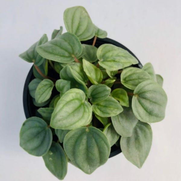 Peperomia Napoli Nights plant with heart shaped leaves