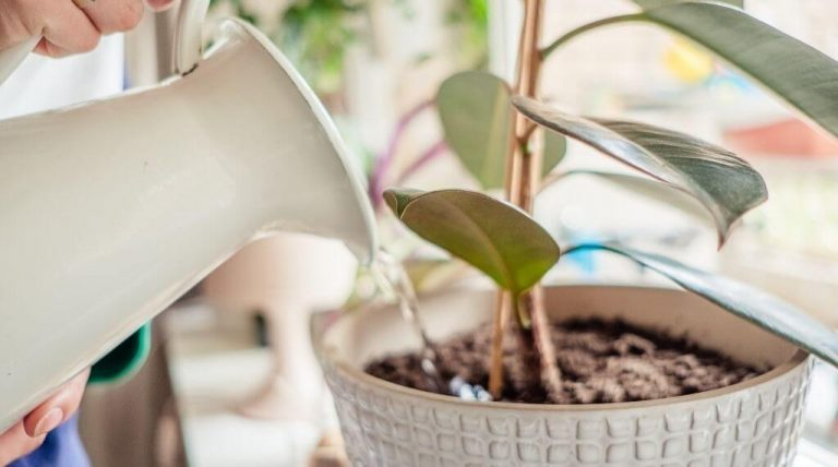 using distilled water in white jug to water indoor plants