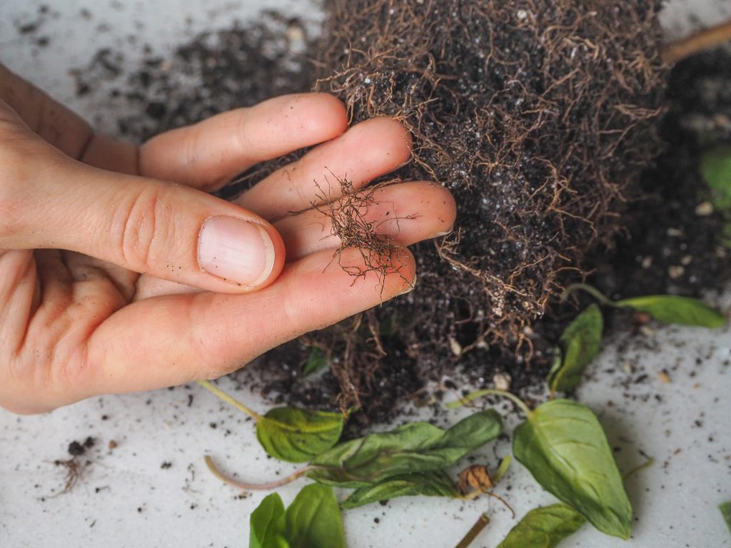 How To Prevent Root Rot In Potted Plants   Plantiful Interiors