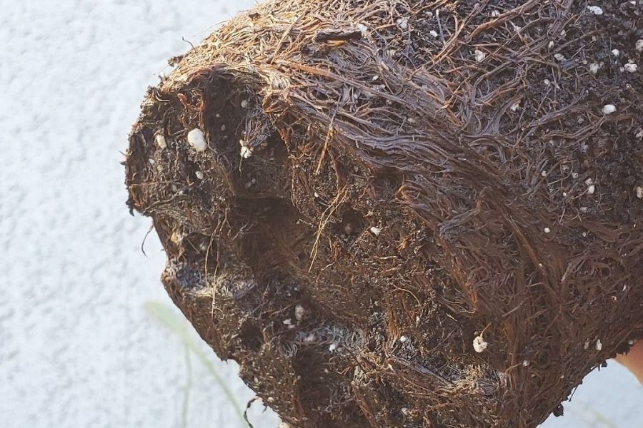 root rot on potted plant