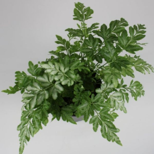 10 Types of Ferns For Indoors + How To Easily Care For Them | Plantiful Interiors