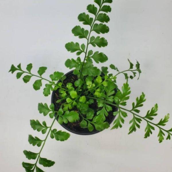 top view of austral gem fern live plant