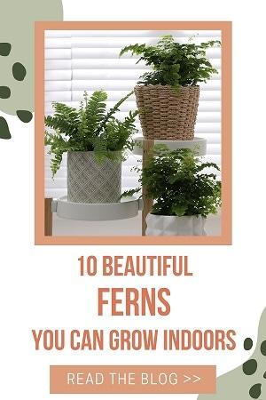beautiful indoor ferns smaller