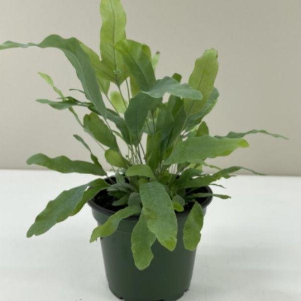 live blue star fern plant in green plastic pot