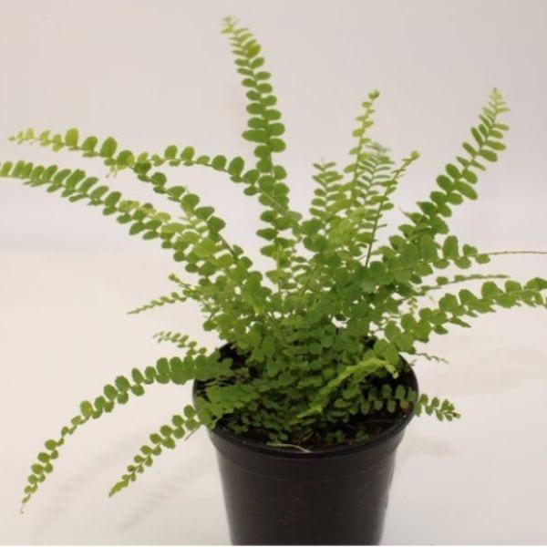 live lemon button fern plant in black growers pot