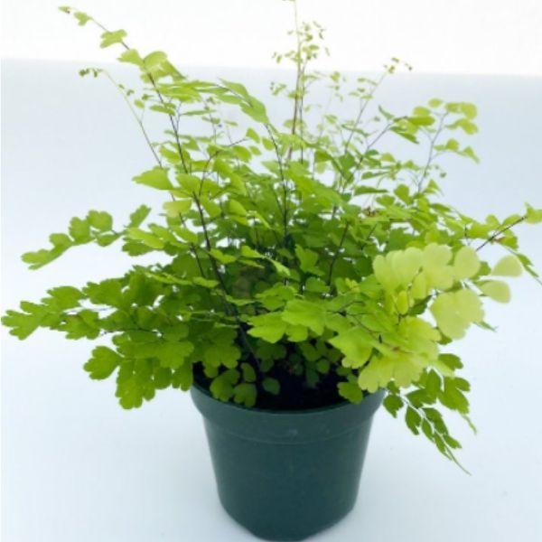 live maidenhair fern plant in green plastic pot